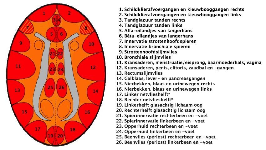Ectoderm_grote_hersenen_CTscan_HeartConnection_Nederland®