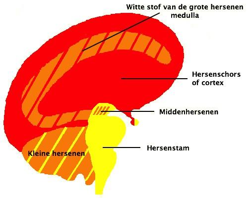 Hersenen_CTscan_HeartConnection_Nederland®