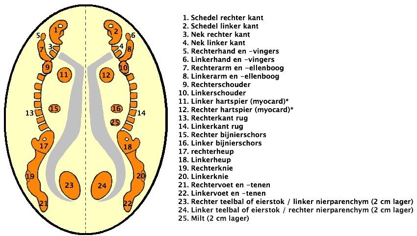 Nieuw_mesoderm_eigenwaarde_HeartConnection_Nederland®